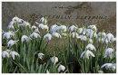 Snowdrops beside Gravestone