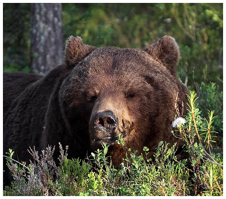 Brown Bear 3- Dozing off