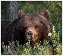 Brown Bear 3- Dozing off