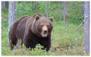 Brown Bear 1-The first view-he was huge.