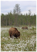 Brown Bear 4- Showing the environment