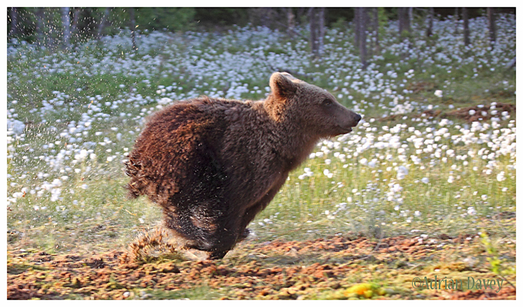 Brown Bear 8- Cub Running