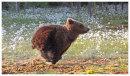 Brown Bear 8- Cub Running