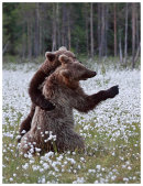 Brown Bear 7- Lets Dance