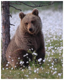 Brown Bear 10-The scratching tree