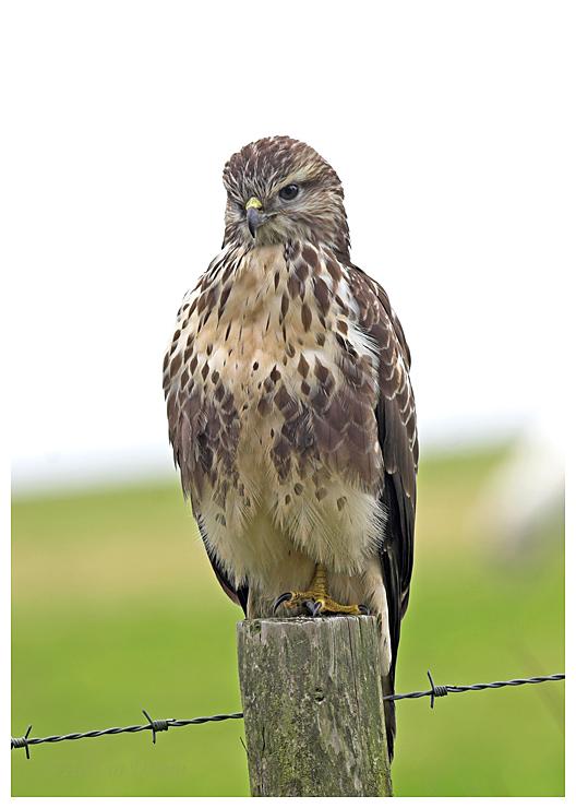 Buzzard posing on a post.