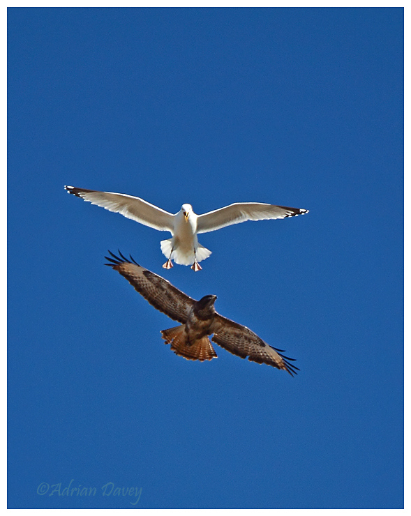 Buzzard mobbed by Herring Gull
