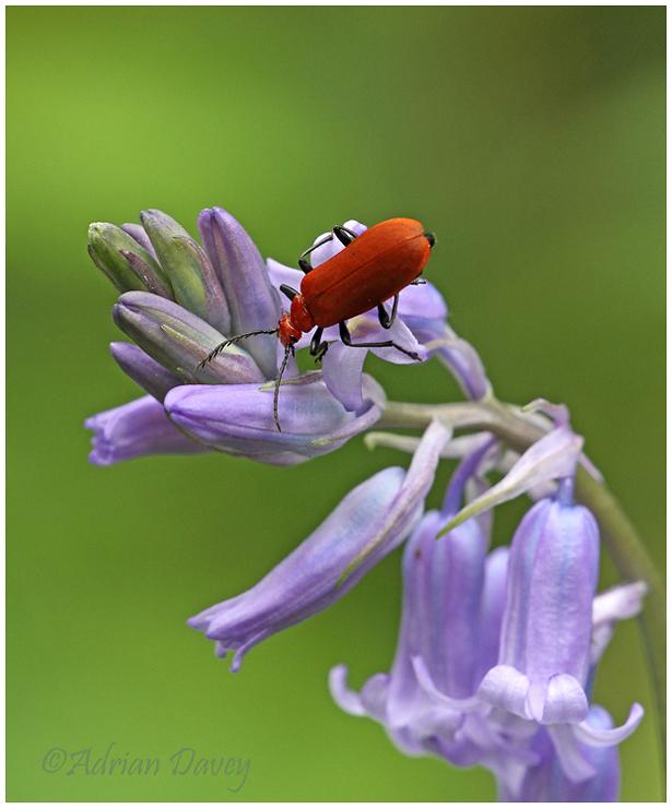 Cardinal Beetle on Bluebell