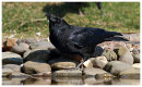 Carrion Crow drinking
