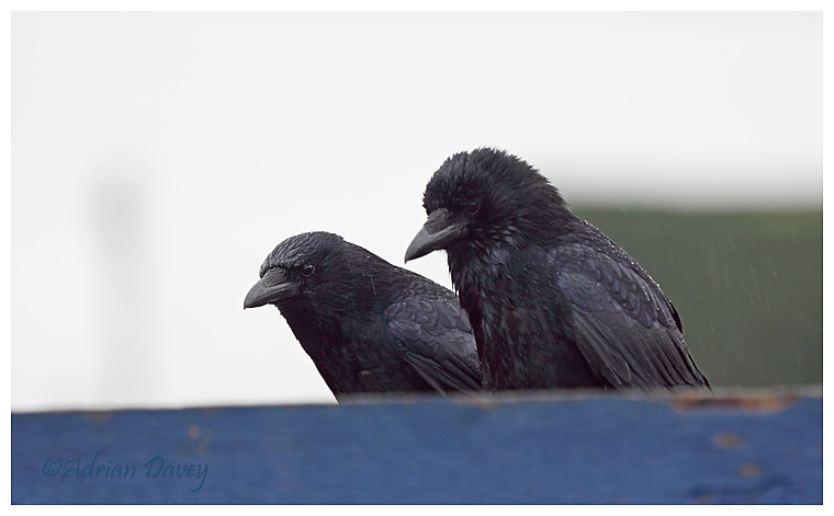 Carrion Crows