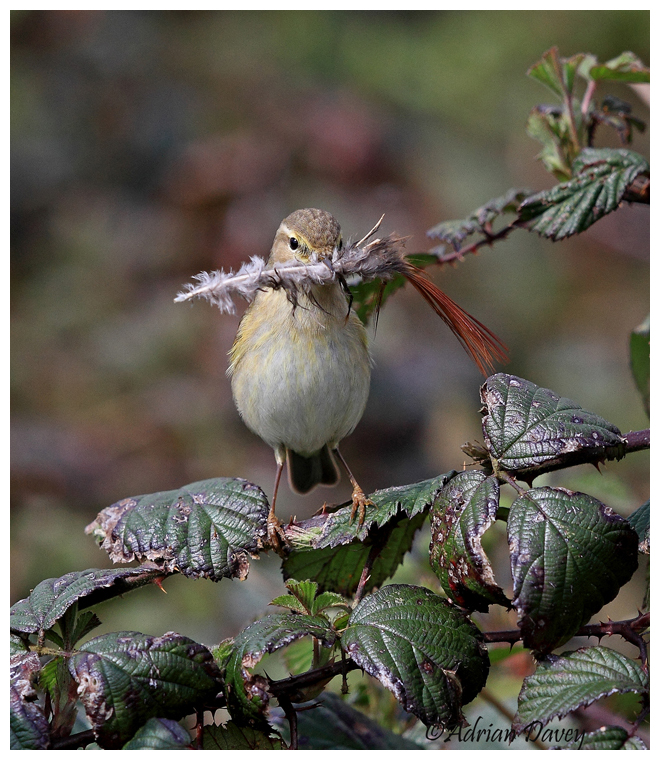 Chiffchaff with nesting matrial 2