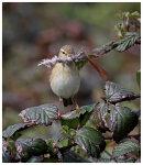 Chiffchaff with nesting matrial 2