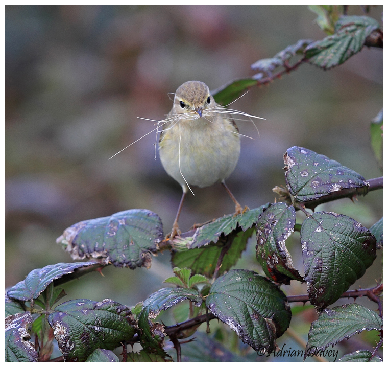 Chiffchaff with nesting matrial 3