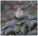 Chiffchaff with nesting matrial 3