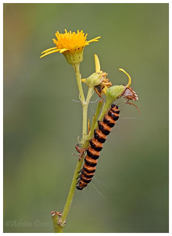 Cinnabar Moth Caterpiller
