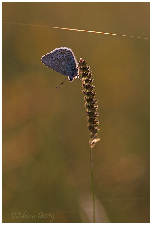 Common Blue backlit