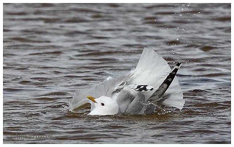 Common Gull bathing 2