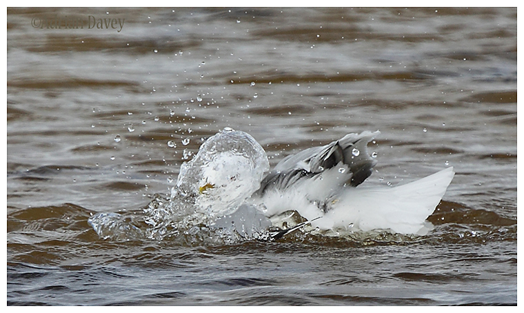 Common Gull bathing 3