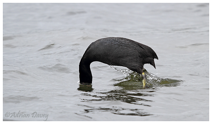 Coot diving