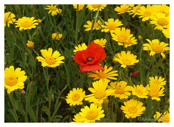 Corn Marigolds & Common Poppy-A feast of colour