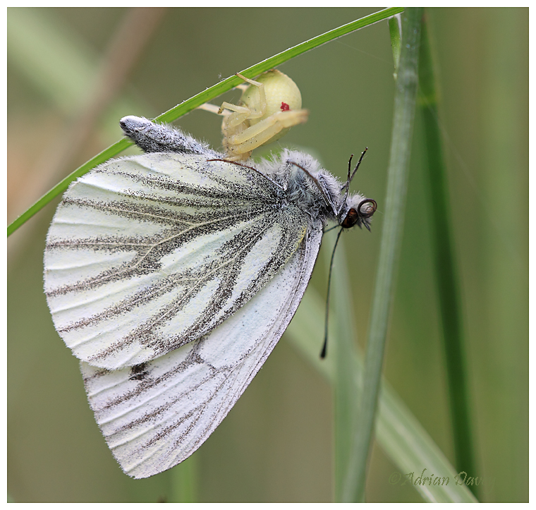 Crab Spider eating  White Butterfly