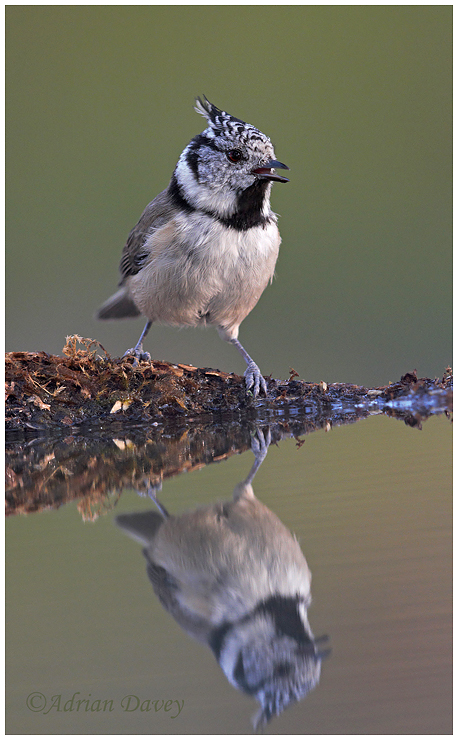 Crested Tit coming for a drink