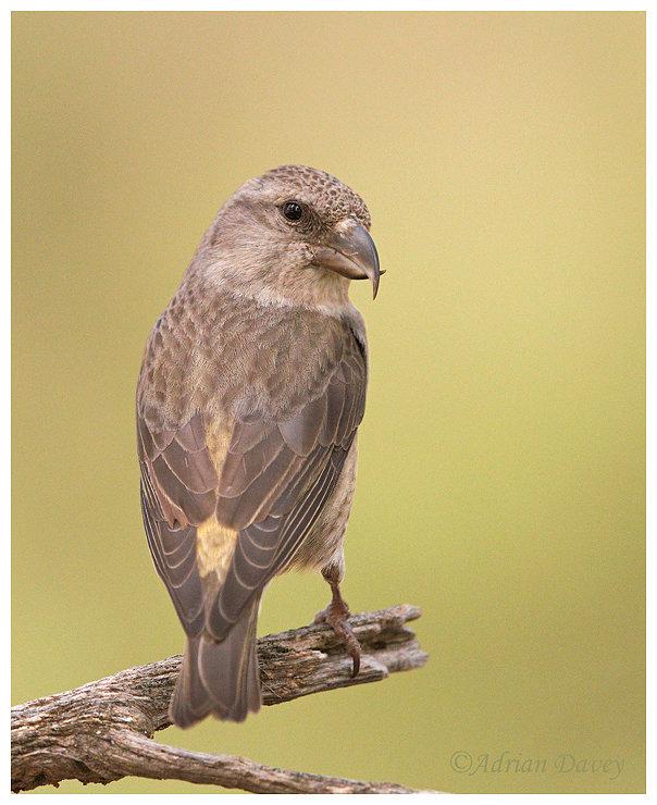Crossbill. Female