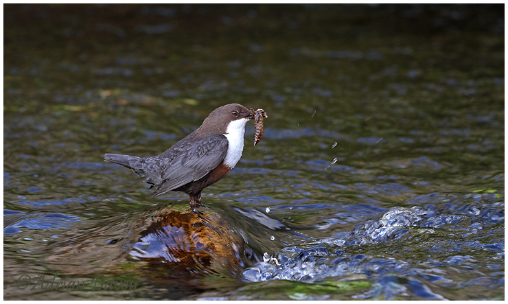 Dipper with food. ( Dragonfly nymph)