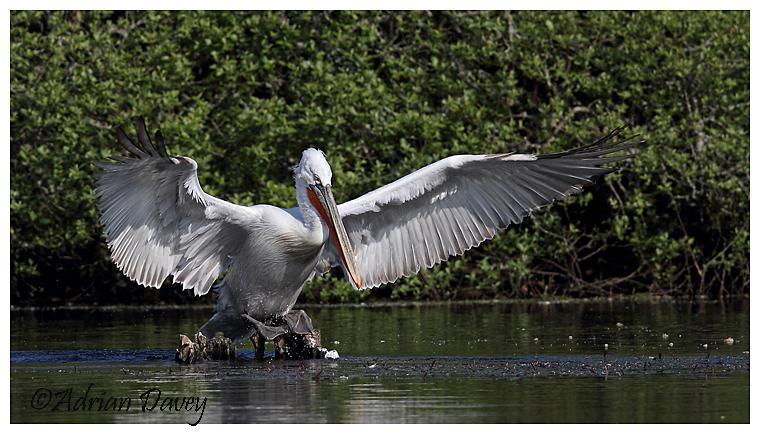Dalmation Pelican