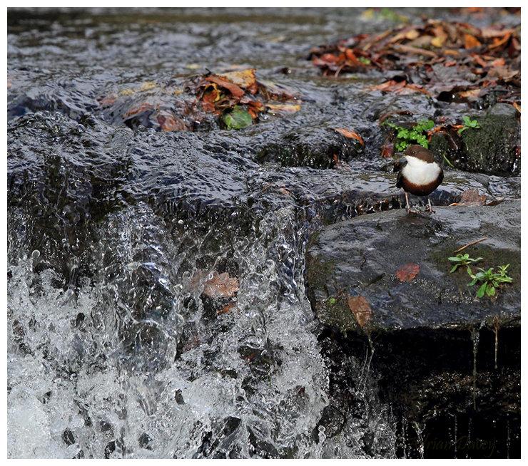 Dipper beside waterfall