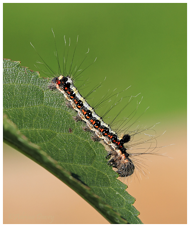 Drinker Moth Caterpiller