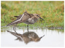 Dunlin wing stretch.
