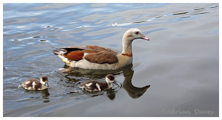 Egyptian Goose with Goslings.
