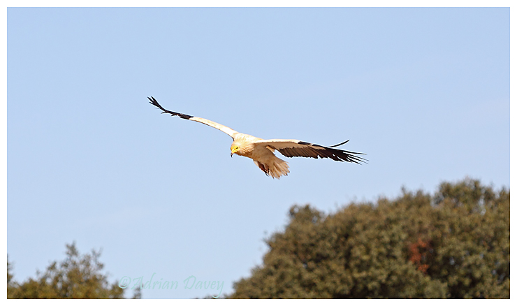 Egypyian Vulture