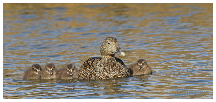 Eider Duck and chicks.