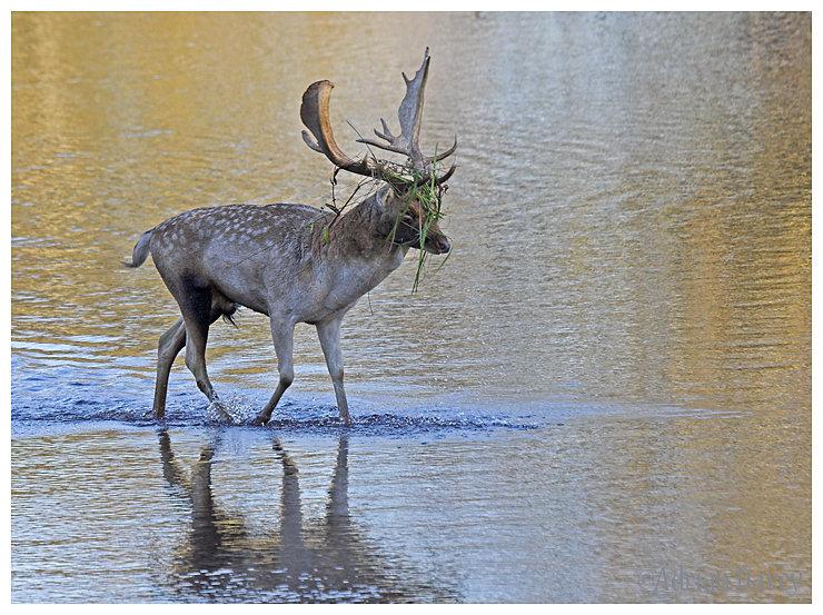 Fallow Deer crossing river 1