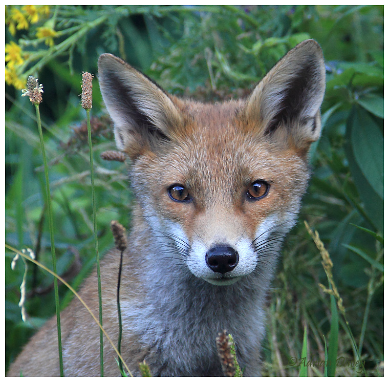Young Fox portrait