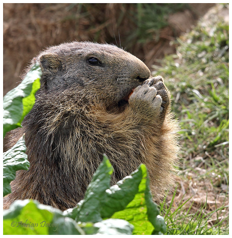 Young Marmot eating lunch