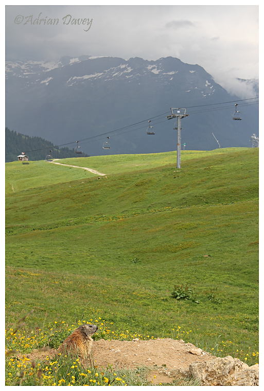 Marmot at home on the ski slopes