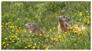 Marmots-Among the Buttercups