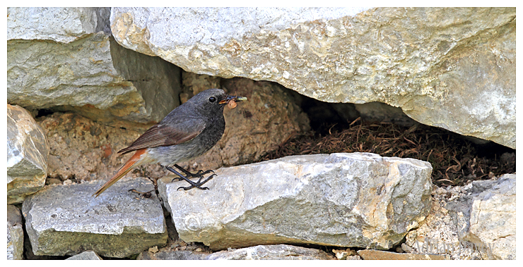 Black Redstart at nest