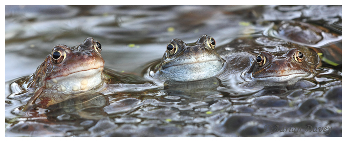 Three Common  Frogs