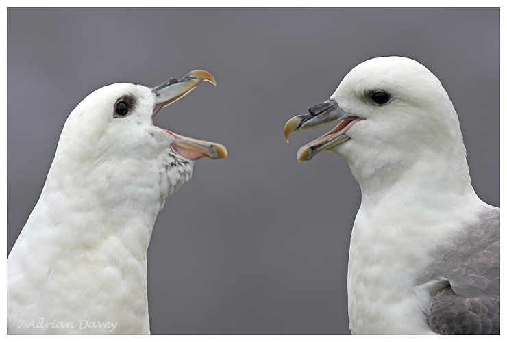 Fulmars Greeting