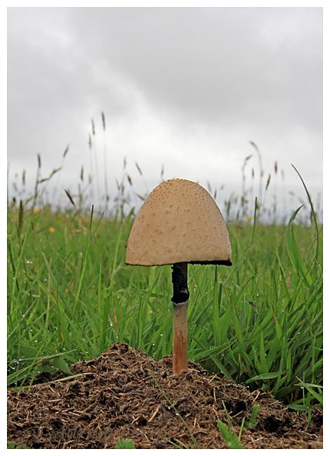 Fungi species