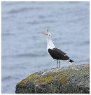 Great Black Backed Gull calling
