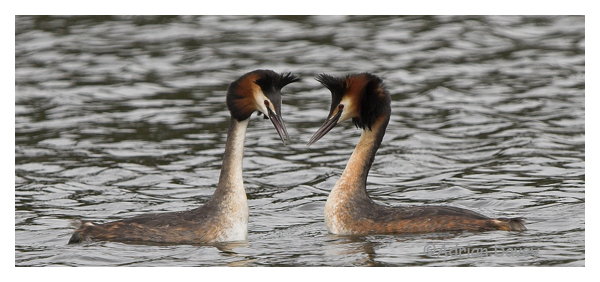 Great Crested Grebes courtship