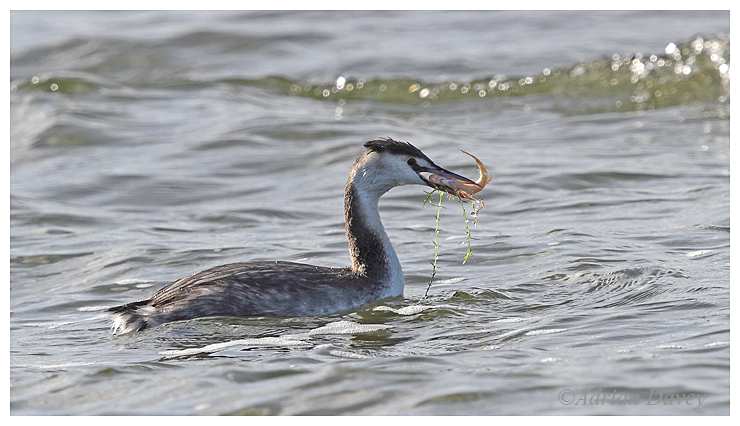 Great Crested Grebe.winter adult with fish