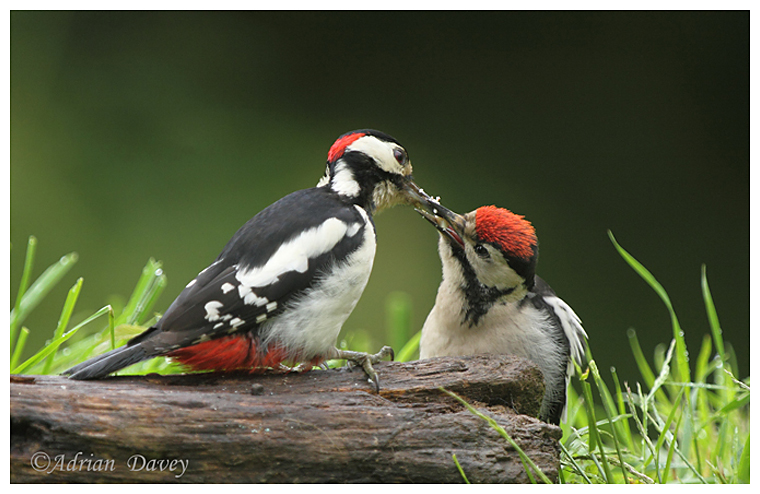 Male Great Spotted Woodpecker feeding juvinile.