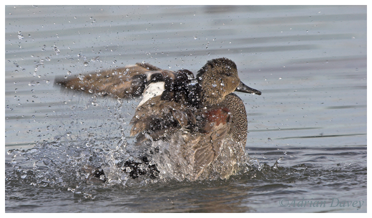 Gadwall bathing 2