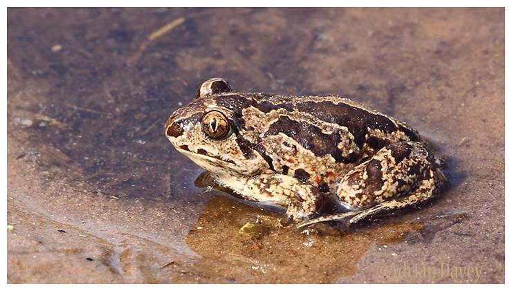 Common Spadefoot Toad. (Pelobates fuscus )